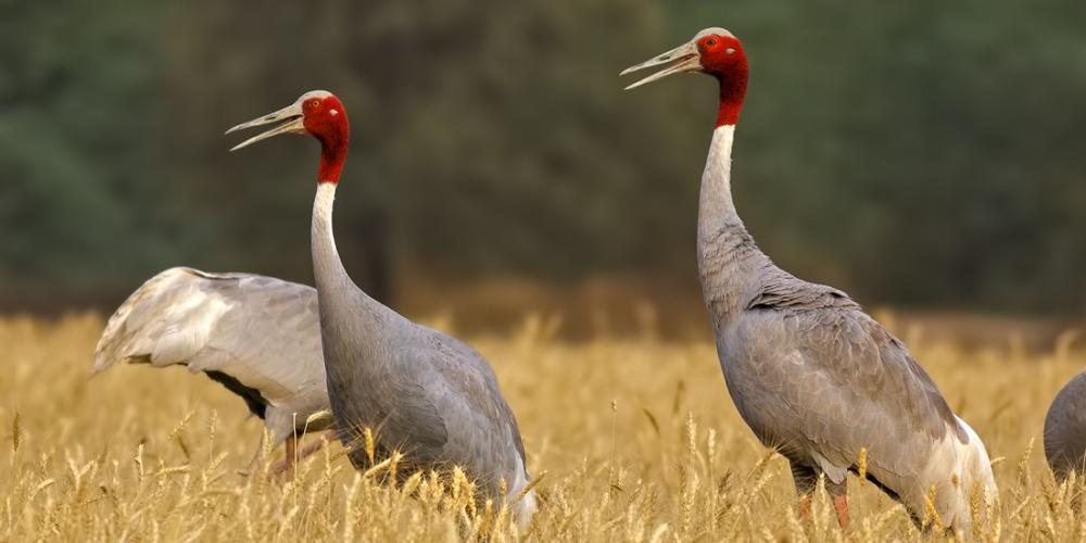 Sarus cranes live in pairs, never separating from their partner for a single moment. – © Rupal Vaidya / Flickr