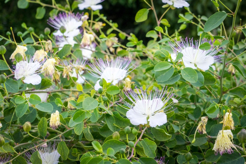 Caper bush (Capparis spinosa), found throughout the park, produces beautiful flowers as well as caper fruit, a delicious staple of Mediterranean cuisine . – © Michael Turtle