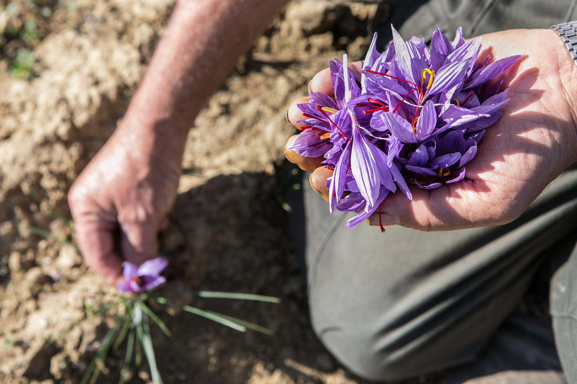 Every year at the end of October we take the saffron flowers just by hand and just early in the morning. Year by year the same ritual. - © Francesca Pagliai