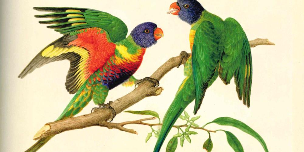Australian parrot rainbow lorikeet in Ferdinand Bauer image, watercolour. – © Paul Martyn Cooper - Images of nature The Bauer Brothers