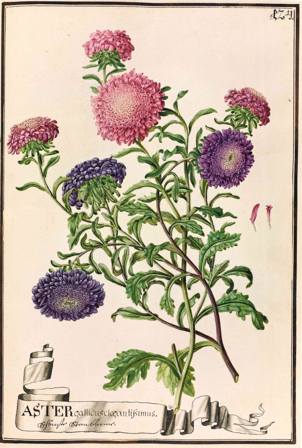 China aster. Watercolour by the Bauer brothers, before 1788, Codex Liechtenstein – © Hans Walter Lack - The Bauers