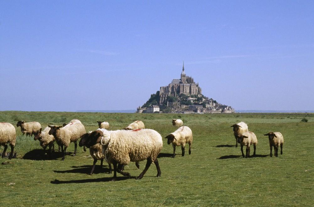 "Sheeps of ""pré-salé"" (salted field) at the foot of the Mont-Saint-Michel. – © Philippe Berthé / Centre des monuments nationaux"