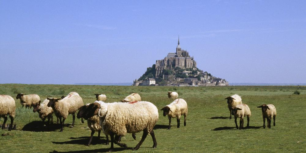 "Sheeps of ""pré-salé"" (salted field) at the foot of the Mont-Saint-Michel. – © Philippe Berthé / Centre des monuments nationaux"