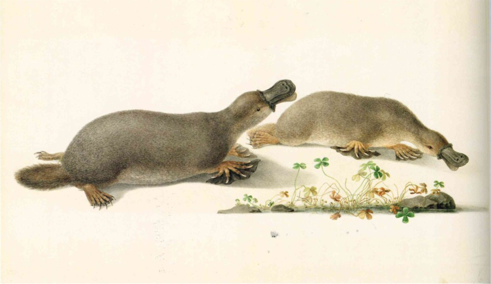 Pencil drawing of platypus made by Ferdinand Bauer in 1803 during a scientific expedition to Australia. – © Paul Martyn Cooper - Images of nature The Bauer Brothers