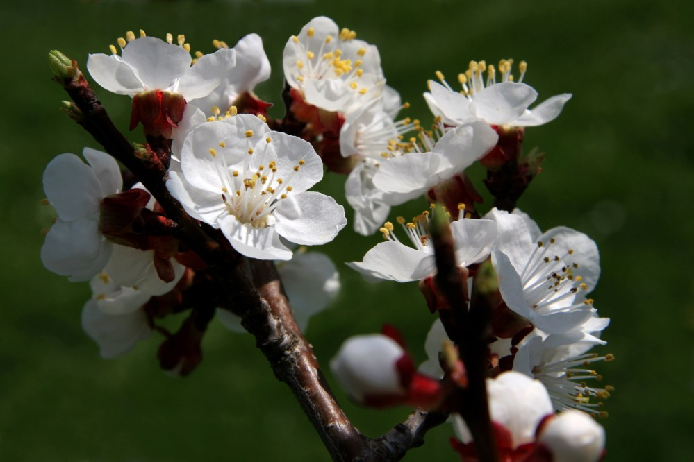 Apricot tree blossoms mark the beginning of spring and the tourism season. – © Othmar Bramberger / Donau NÖ