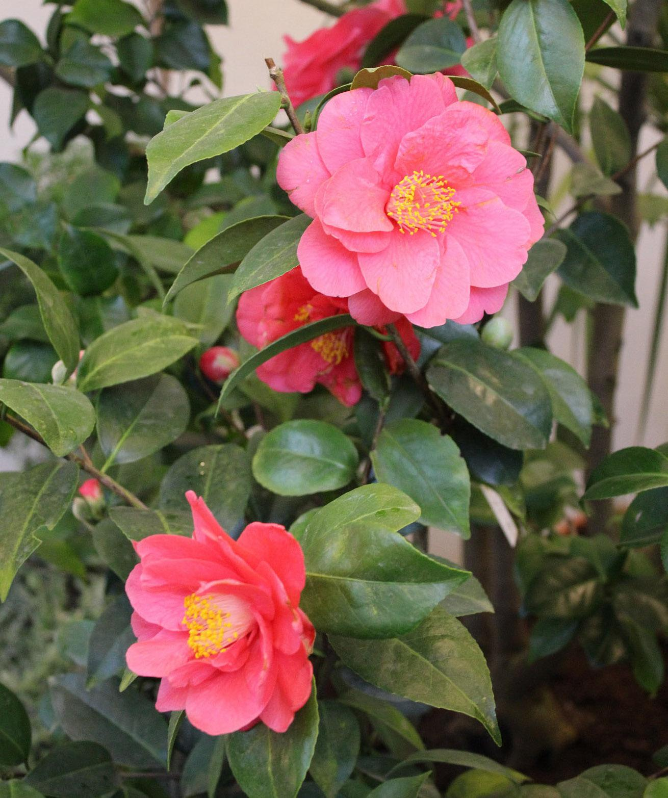 Camellias are native to China and Japan and have been a symbolic part of their cultures for thousands of years. The Chinese were cultivating camellias in 2737 B.C., but the flowers did not reach Europe until the mid-1700s