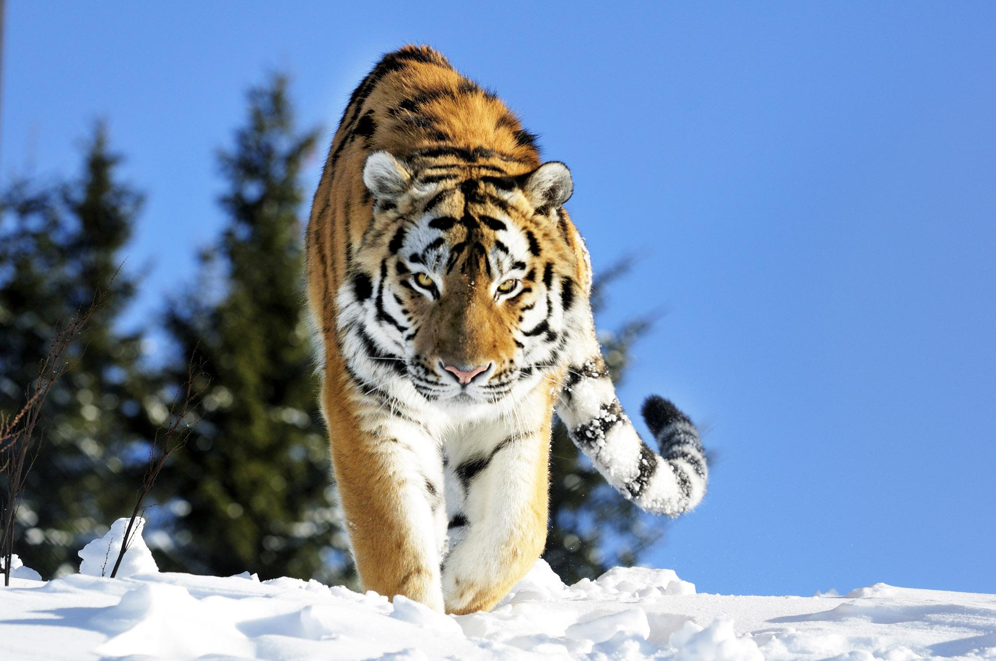The Siberian tiger is one of the world's largest wild cats and can reach up to 350 kilograms in weight and averages 3 to 4 metres in length. – © Grönklittsgruppen