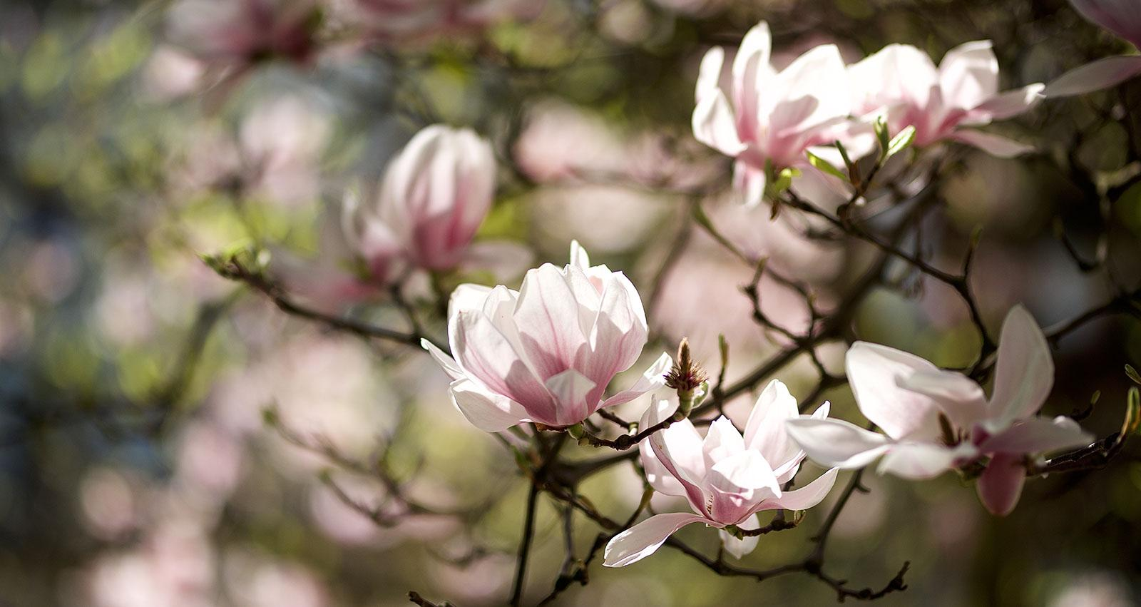 With the coming of spring, the blooming magnolias in the Palace Gardens shine like magnificent jewels. – © Tomas Vrtal