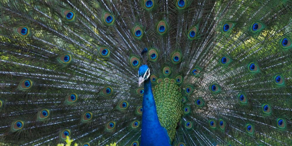 During the ride you will be able to see a number of peacocks with their young ones. – © Alena Linder