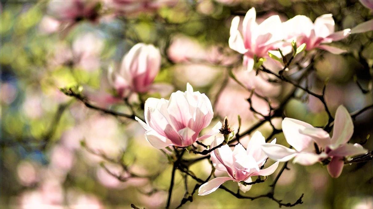 With the coming of spring, the blooming magnolias in the Castle Gardens shine like magnificent jewels. – © Tomas Vrtal