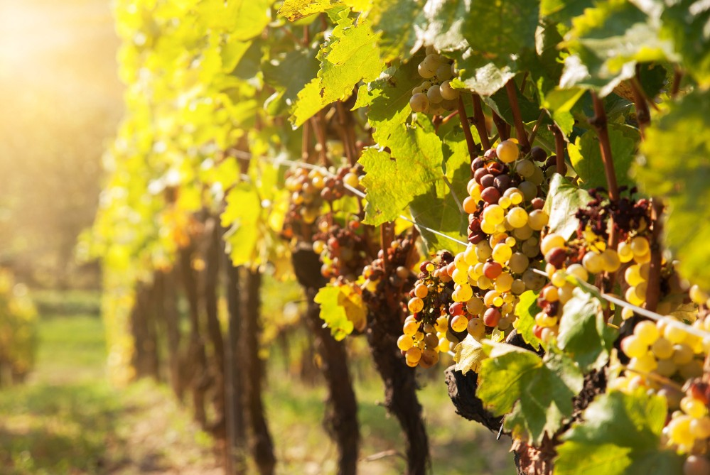 Visitors from around the world come to see the noble rot—botrytised grapes in the sunshine. – © evryka / Shutterstock