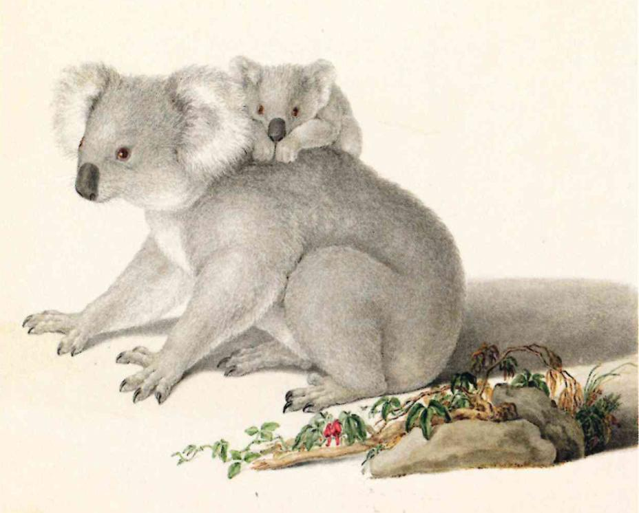 Koala drawn by Ferdinand Bauer according to the detailed scientific description by the naturalist Robert Brown. – © Paul Martyn Cooper - Images of nature The Bauer Brothers