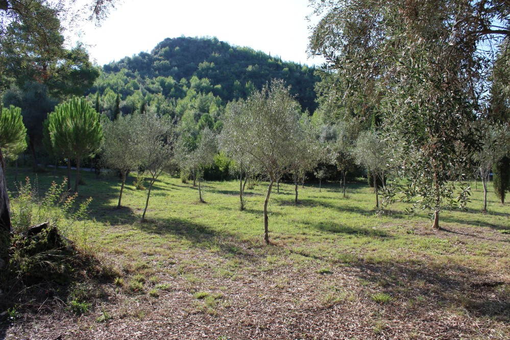 Among the flora here, olive trees grow in the Olympic Botanical Garden, behind Kronion Hill. – © Hellenic Ministry of Culture and Sports / Ephorate of Antiquities of Ilia