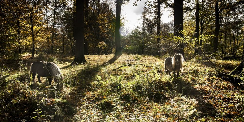 Gribskov Forest horses still roam—although they are no longer used for royal hunts. Today, they help maintain the environment. – © Sune Magyar / Parforcejagtlandskabet i Nordsjælland