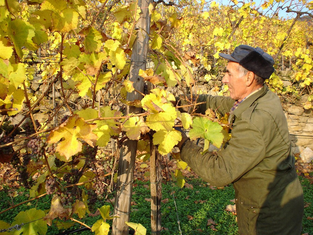Grape harvest in Wachau still means manual work and keeps winemakers busy during fall. – © Michael Nader