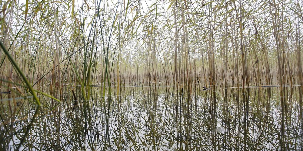 Water is never far away in the nature reserve of Lovö. These reeds form a specific ecosystem for many birds. – © Melker Dahlstrand