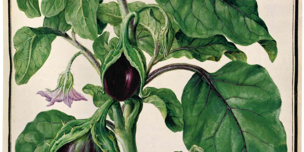 Aubergine (Solanum melongena). Watercolour by the Bauer brothers, 1778, Codex Liechtenstein. – – © Hans Walter Lack - The Bauers
