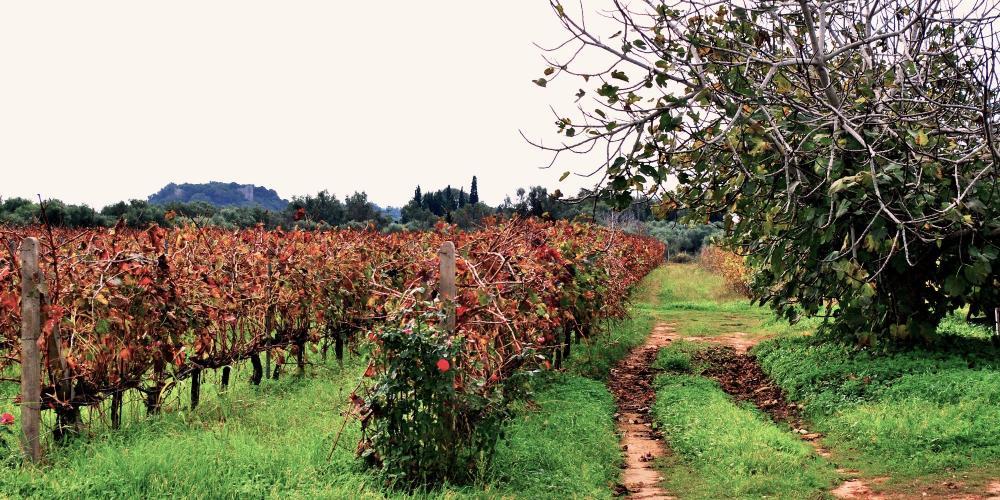 View of the vineyards of Merkouri Estate. – © Merkouri Estate
