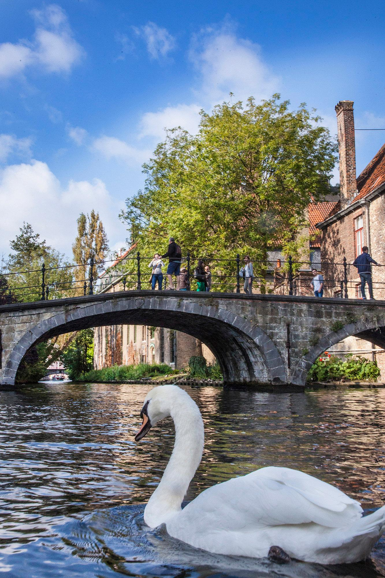 Swan on the bruges canals. – © Jan D. Hondt / Visit Bruges