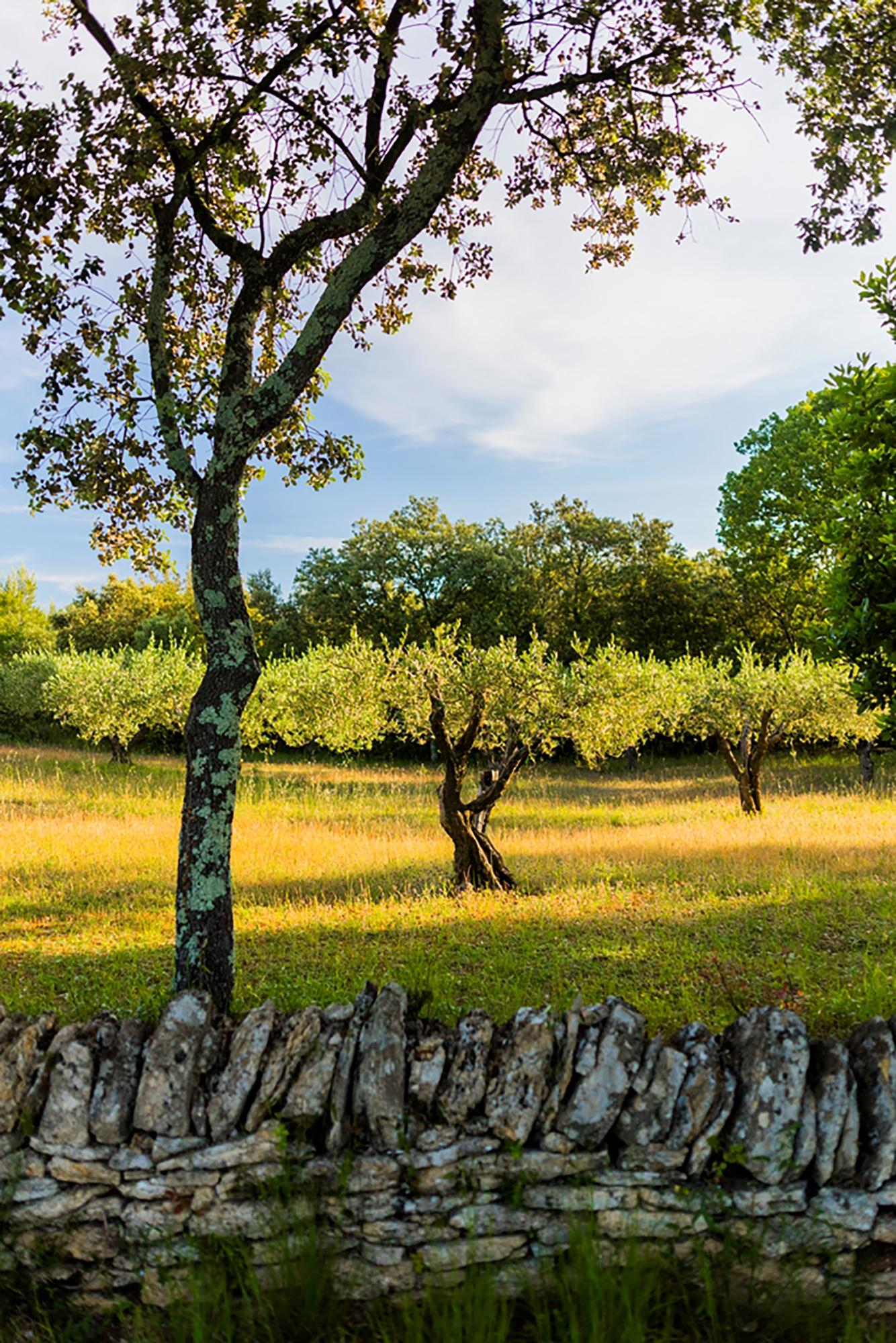 "The ""Mémoires de Garrigue"" open-air exhibition is a 1.4-kilometre marked trail enclosed by dry stone walls and filled with acres of vineyards, olive groves (pictured), wheat fields, and oak trees. - © Aurelio Rodriguez"