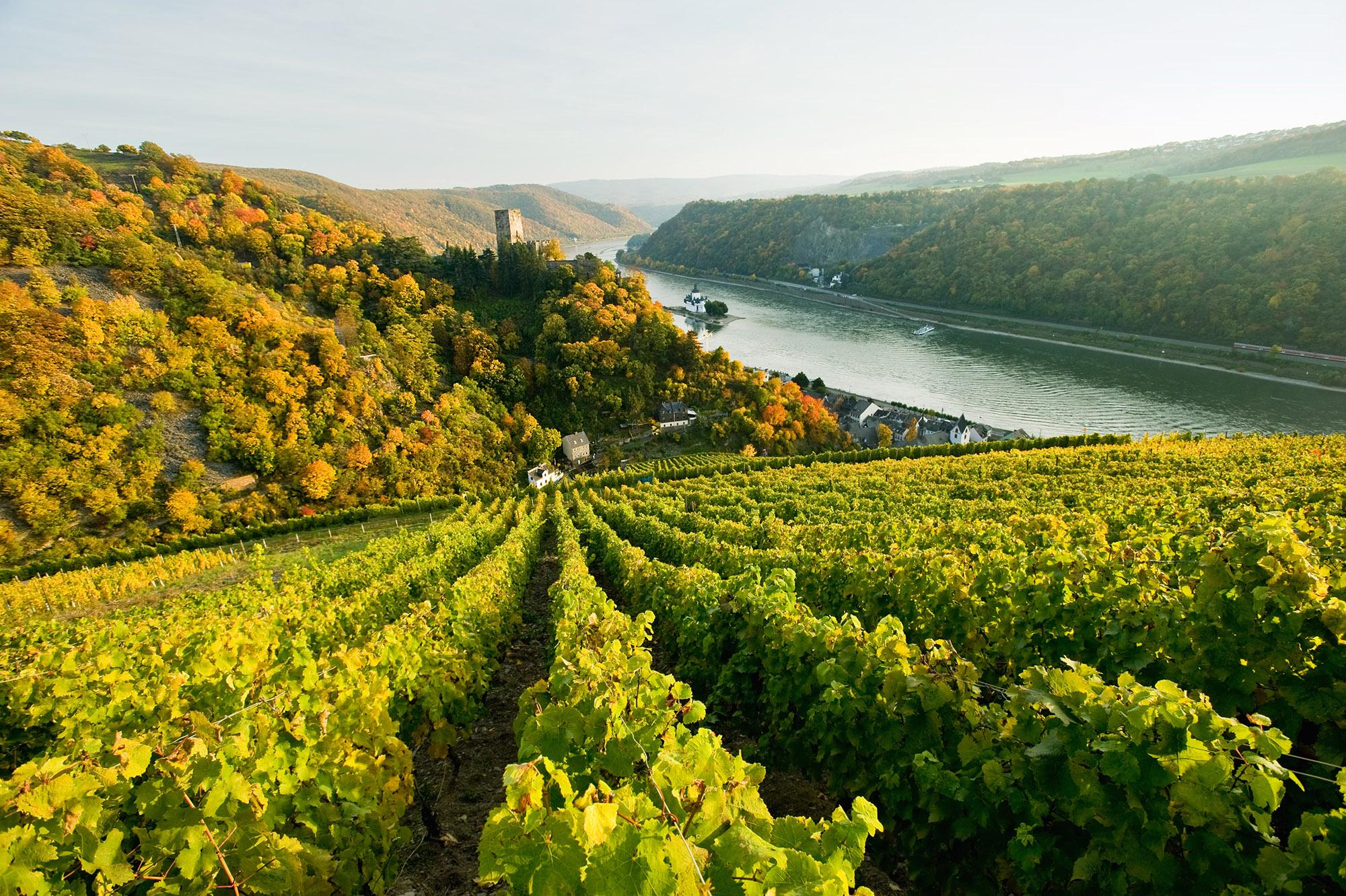 Elegant Riesling wines are treasured all over the world. Pictured: vineyards at Kaub am Rhein. – © Dominique Ketz / Romantischer Rhein Tourismus GmbH