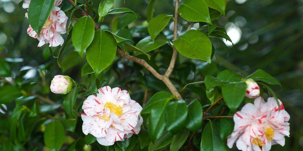The young leaves of the Chinese Camellia are in fact the source of green and black tea. – © Tomas Vrtal