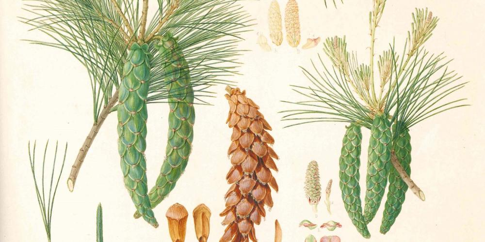 Pinus strobus, Weymouth pine or white pine, original drawing by Ferdinand Bauer of material grown at Kew, England, with details from herbarium specimens, 1803. – © David J Mabberley - Painting by numbers
