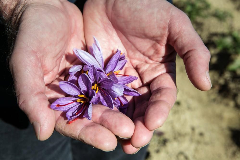 Le safran est l'une des nombreuses plantes qui poussent dans cette région réputée pour sa fertilité et a joué un rôle important dans l'économie locale. – © Francesca Pagliai