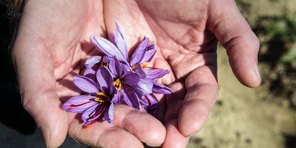 该地区土地异常肥沃,生长着多种植物,其中之一便是藏红花。几百年来,藏红花在当地经济发展中发挥了重要作用。 – © Francesca Pagliai