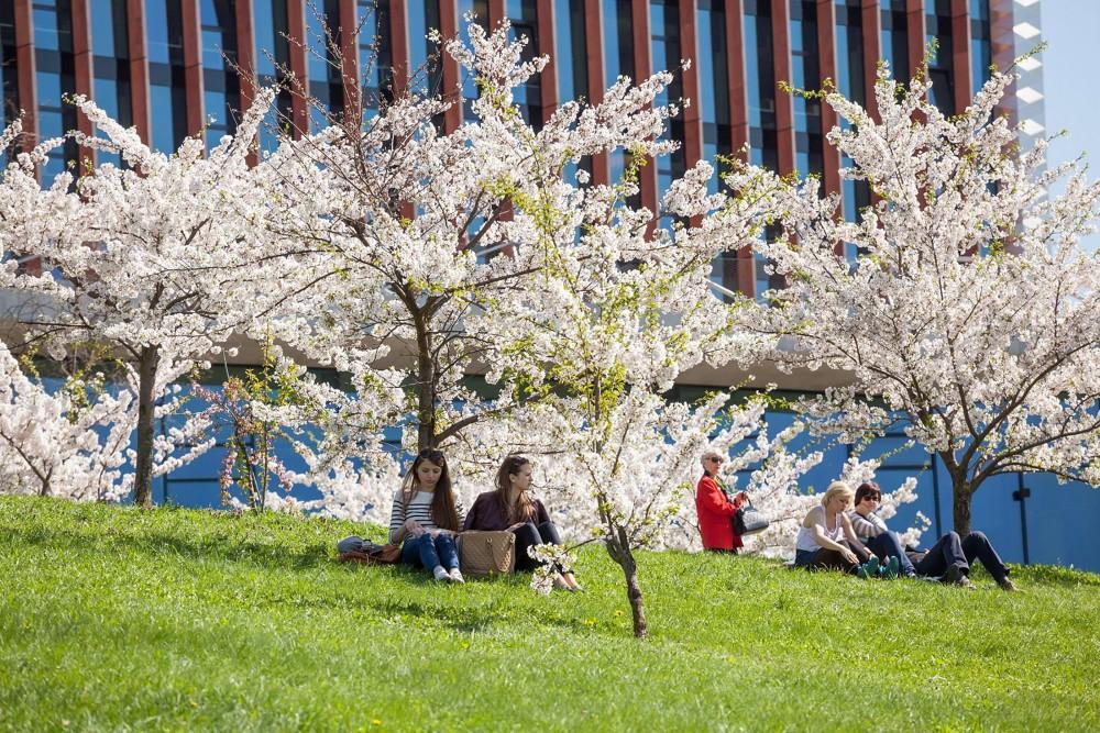 Beautiful sakura trees remind Vilnius residents of the special relationship between Lithuania and Japan. – © Saulius Ziura / www.vilnius-tourism.lt