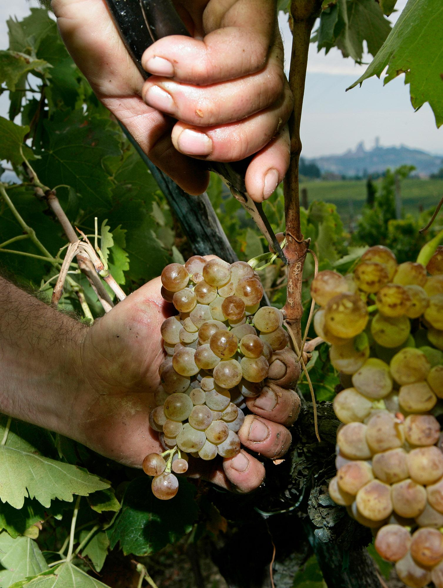 Vernaccia is a white wine grape that is found in many Italian wines, but it reveals its full glory in Vernaccia di San Gimignano - © Consorzio della Denominazione San Gimignano