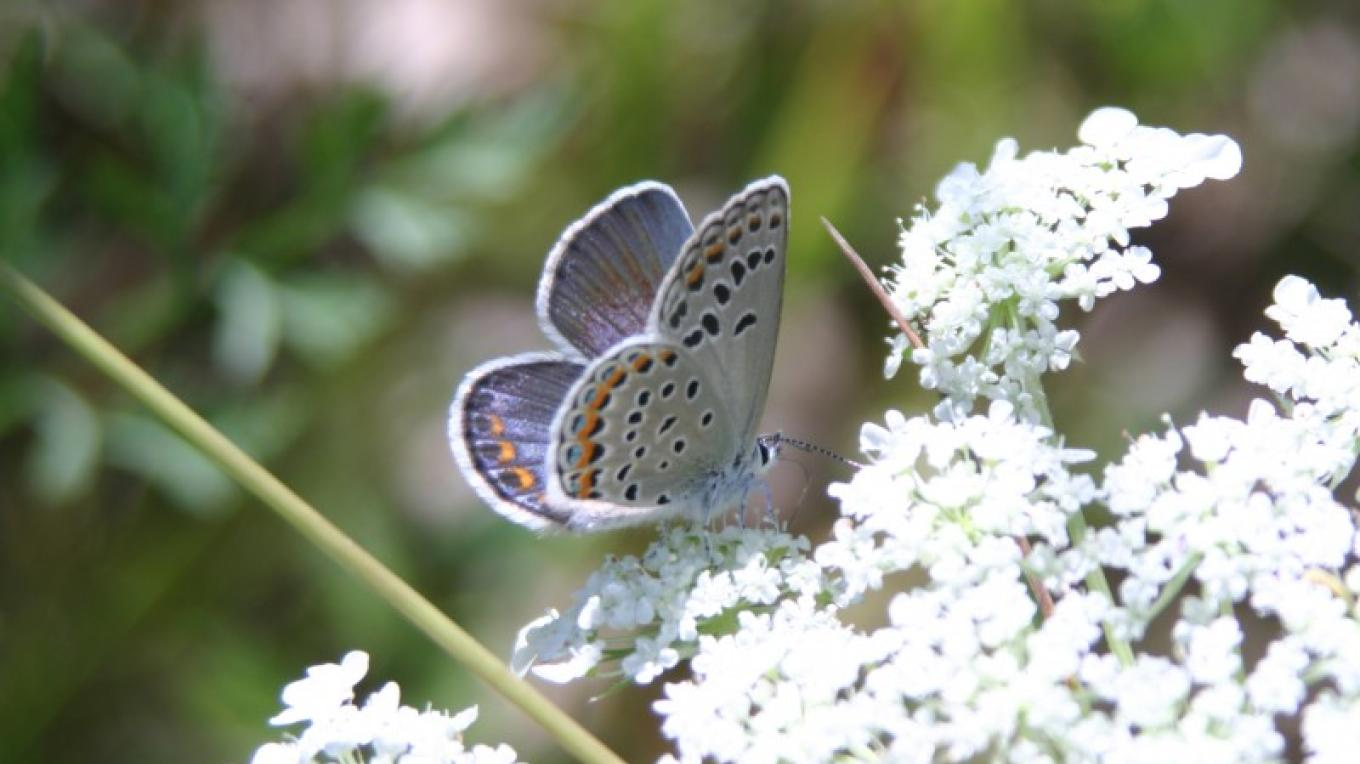 The Pine Bush is home to more than 45 New York State-designated Species of Greatest Conservation Need, including the federally endangered Karner blue butterfly. – Albany Pine Bush Preserve Commission