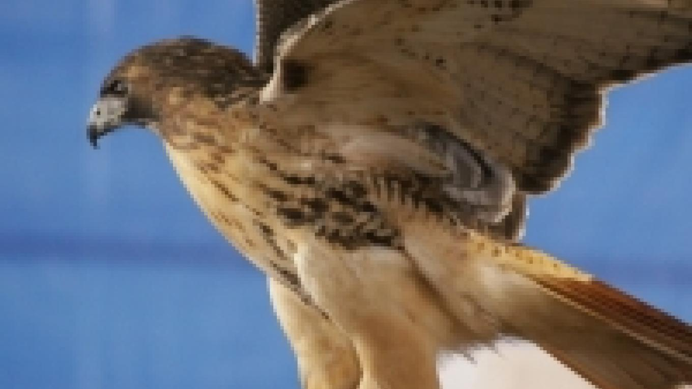 Red-tailed Hawk – Cliff Oliver