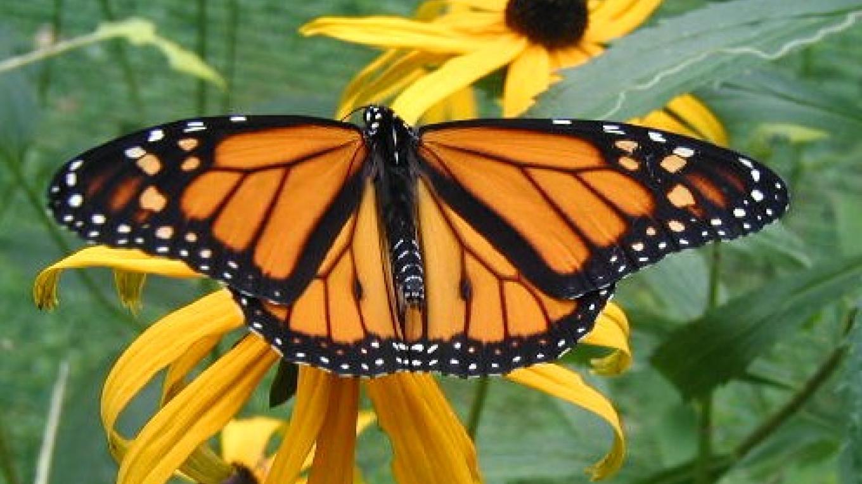 Monarch Butterfly – Matt Sprow