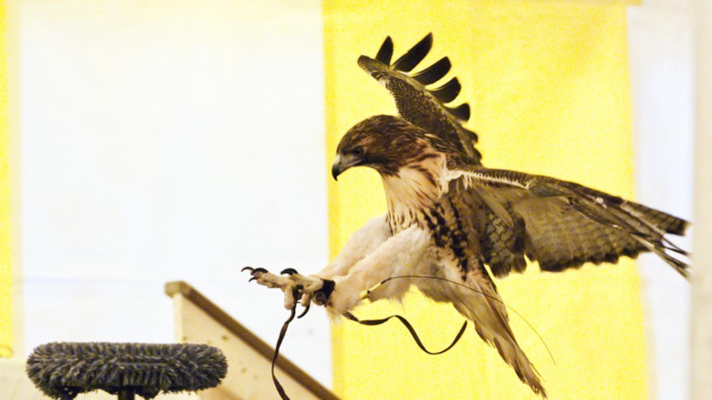 Red-tailed Hawk flight 2 - VINS – Connie Bush