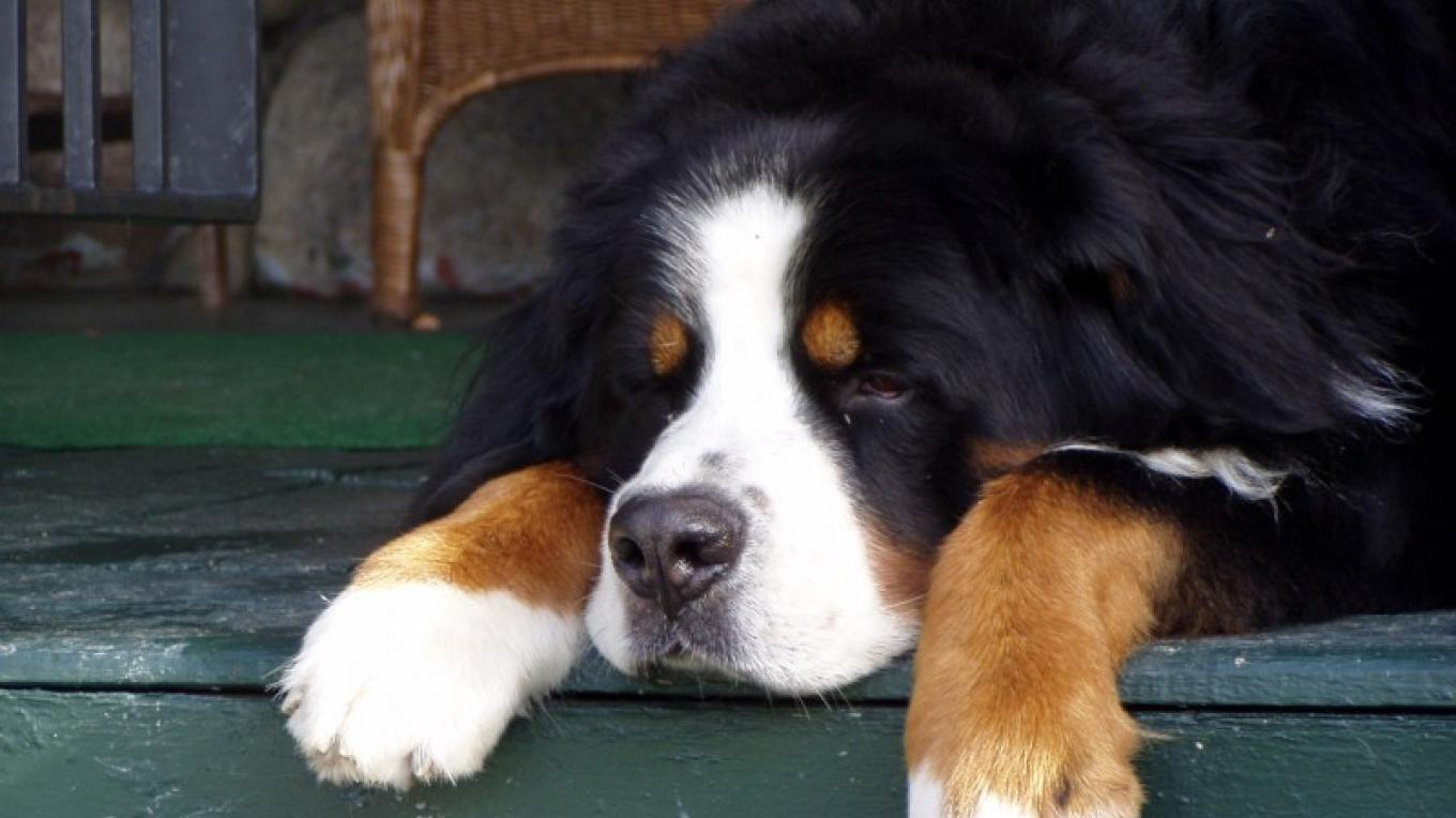 At any given moment, several Bernese Mountain Dogs are found lounging around. – Waldemar Kasriels
