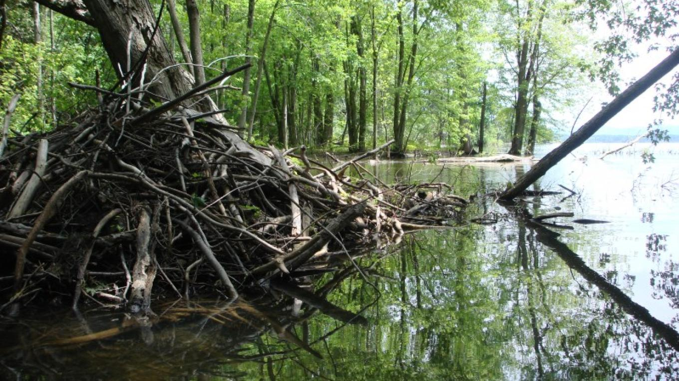 Beaver lodge along Stacy Brook. – Courtesy of Cathy Frank