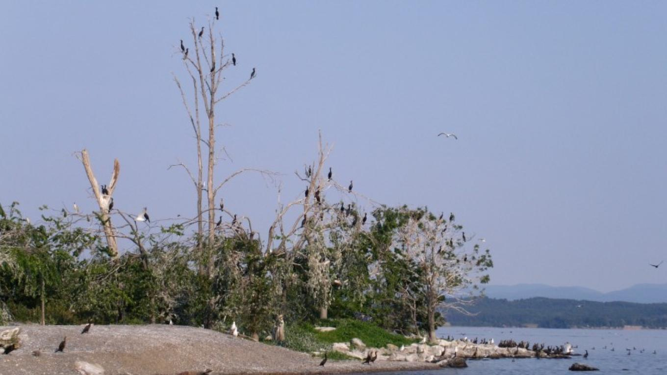 An abundance of cormorants, with a few gulls along the shore, Four Brothers Islands. – Courtesy of Cathy Frank