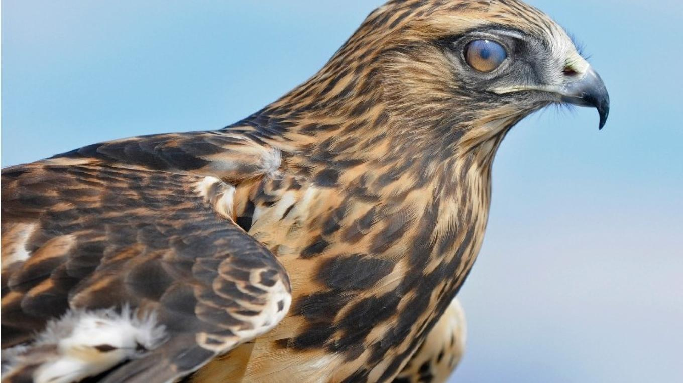 Rough-legged Hawk (a winter visitor to the IBA) – Cliff Oliver