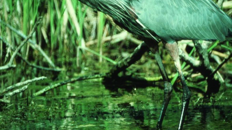 Great Blue Heron – John Cossick (USFWS)