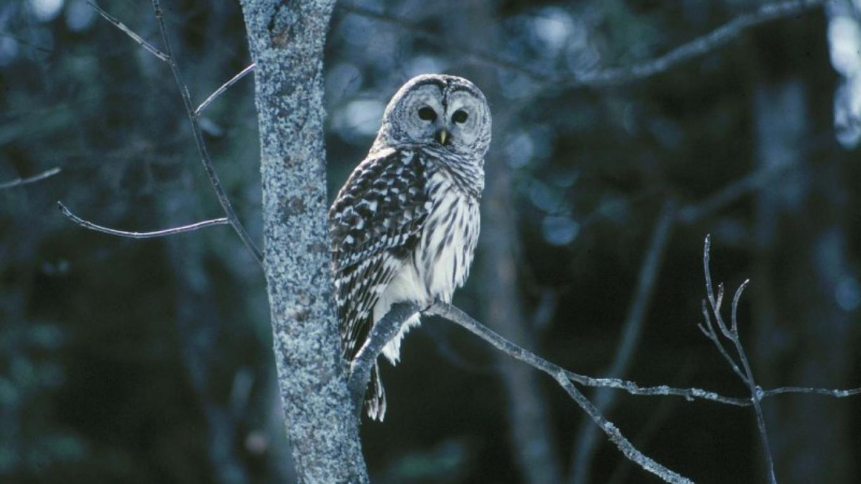 Barred Owl – Gary Randorf