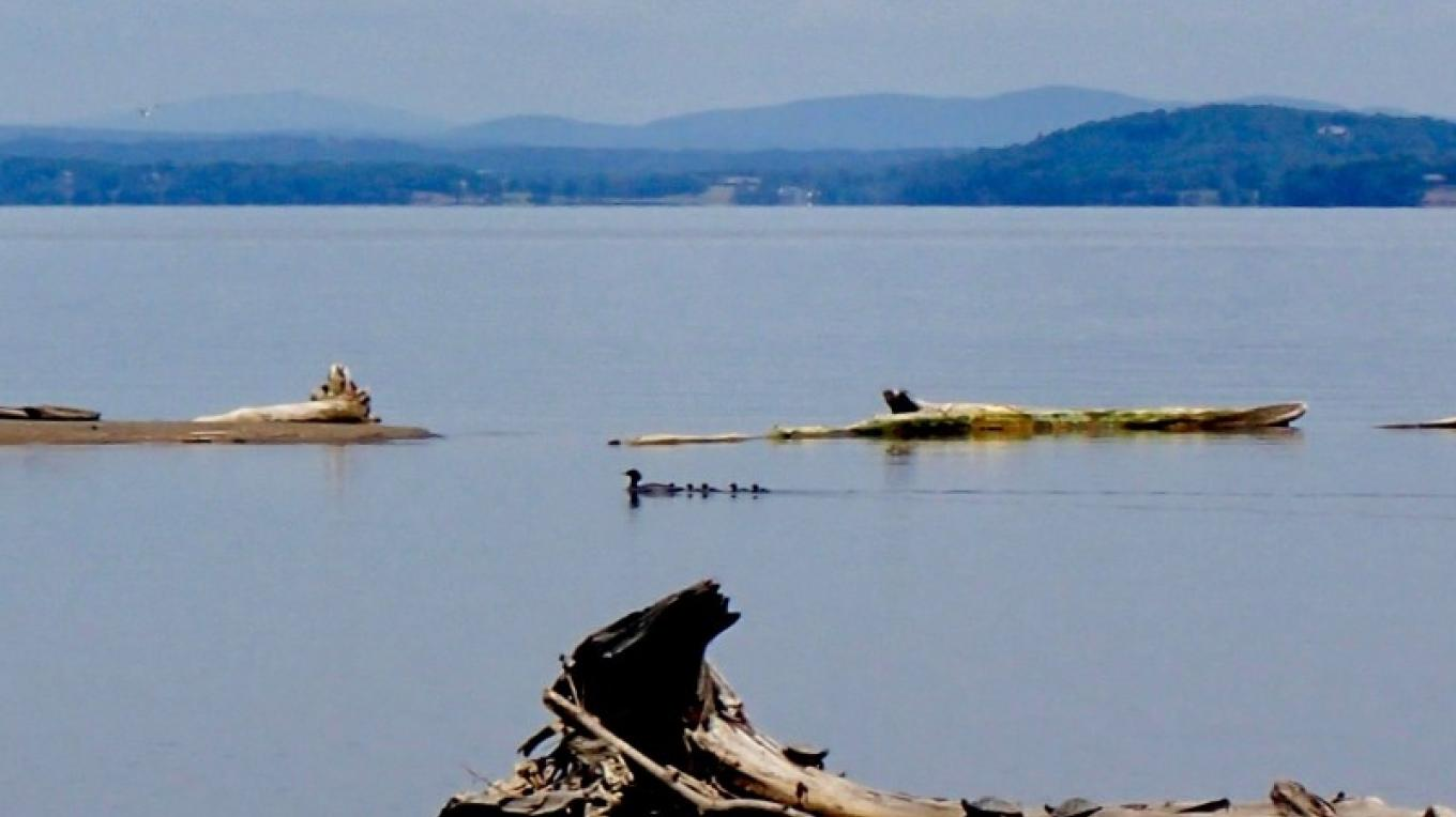 Ducks feasting near the Boquet River Delta. – Courtesy of Cathy Frank in A Kayaker's Guide to Lake Champlain