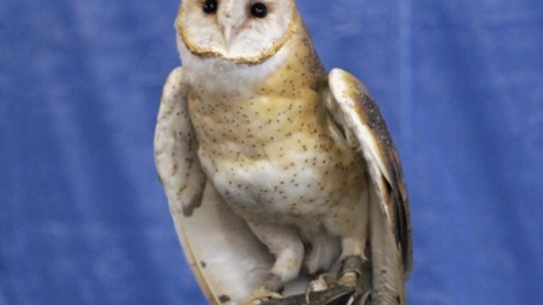 Barn Owl – Cliff Oliver