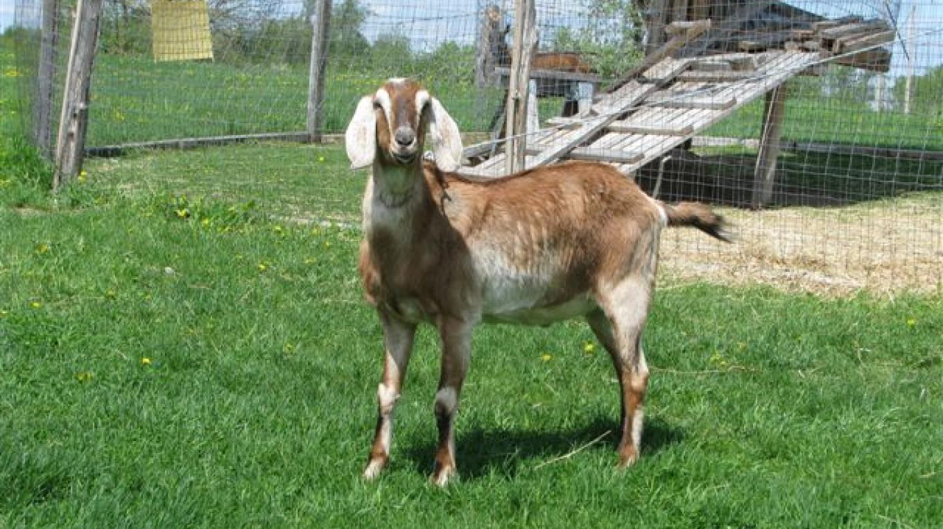 Golden, the Nubian goat