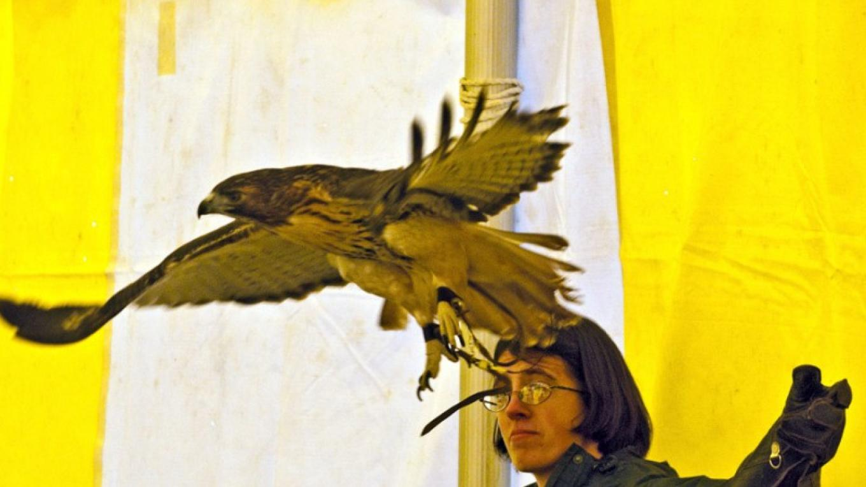 Red-tailed Hawk flight 1 - VINS – Connie Bush