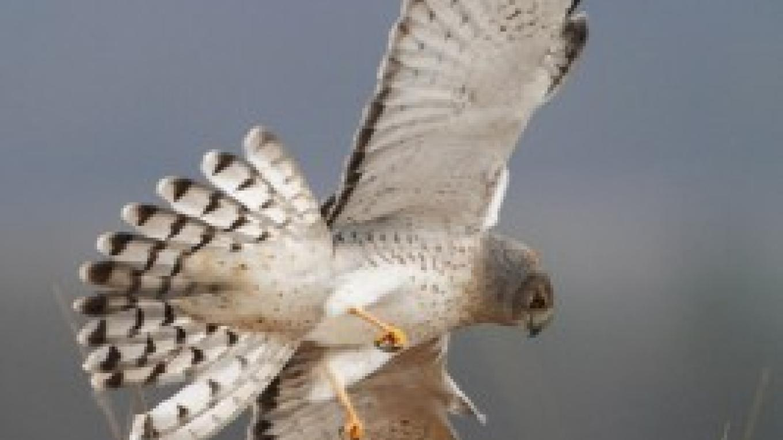 Northern Harrier (m) in the WCG IBA – Gordon Ellmers