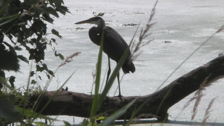 Great Blue Heron at Preserve – Myla Kramer