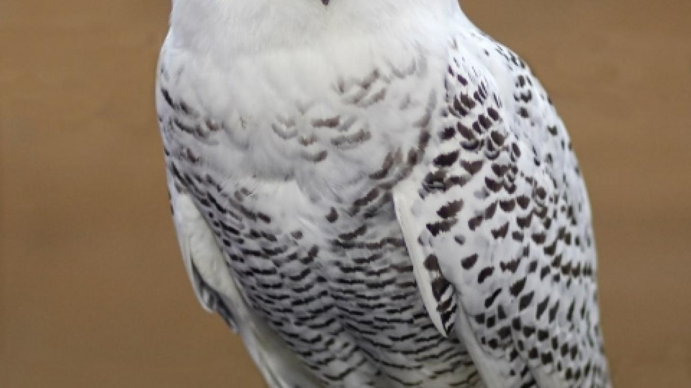 Snowy Owl at WRF - TIWENY - another winter visitor – Paul Preuss