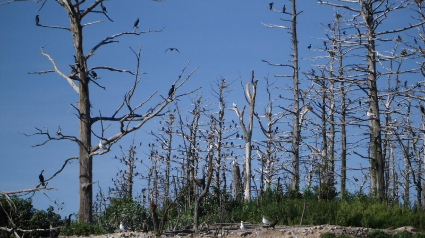 Cormorants perched on denuded trees. – Courtesy of Cathy Frank