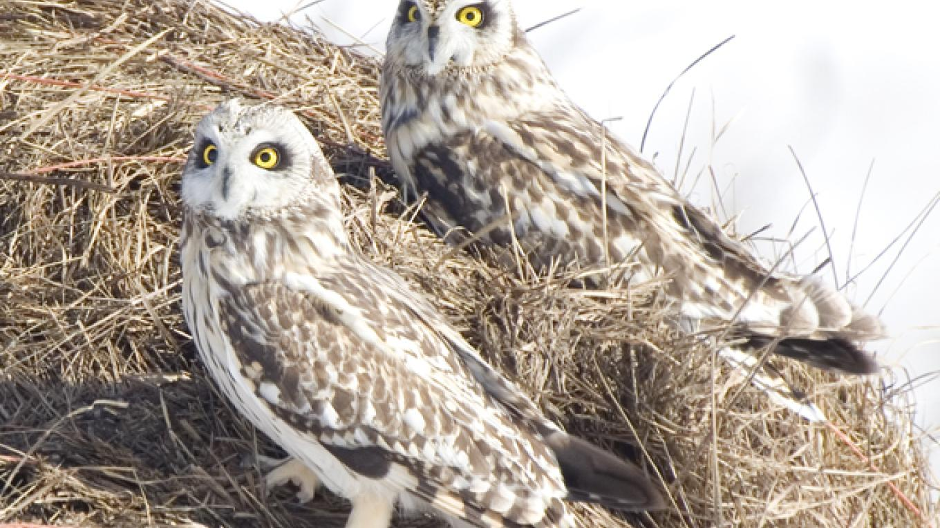 Short-eared Owls on hay bale - WCG IBA – Laurie Lafond